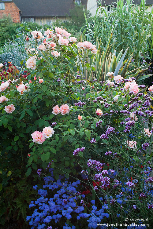 Rosa 'Chanelle' in the exotic garden at Great Dixter with Ageratum houstoniarum 'Blue Horizon' and Verbena bonariensis