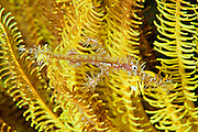 Ghost Pipefish are masters of camouflage mimicking their environment exceptionally well.  These individuals blend very well with the cronoid in which they spend much of their time waiting for passing prey