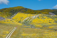 Hiker on a dirt road surrounded by yellow Goldfields in the Carrizo Plains National Monument in California during a super wildflower bloom on April 4, 2019.