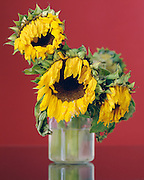 still life with dying sunflowers