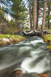 """Sagehen Creek 1"" - Photograph of Sagehen Creek flowing past a tree with it roots exposed, shot near Truckee, California."