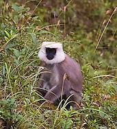 Hanuman langur (common grey)