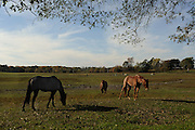 Horses in a field scavenging for food after the 2011 drought in eastern Oklahoma.
