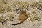 Meerkat or Suricate (Suricata suricatta) Juvenile feeding on scorpion<br /> Makgadikgadi Pans, Kalahari Desert<br /> Northeast BOTSWANA<br /> HABITAT & RANGE: Kalahari Desert in Botswana, Namib Desert of Namibia, Angola and South Africa