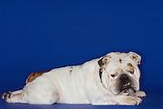 Bulldog lying prone side view
