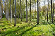 Tall Birches - managed plantation copse of Silver Birch European White Birch Trees Betula Pendula in France