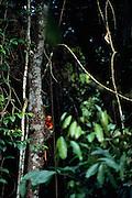 A major survey in 1992 showed that the wild population of Golden Lion Tamarins consisted only of small isolated groups. Carefully planned translocation and reintroduction programs aim to stabilize the status of free-ranging Golden Lion Tamarins. | Eine umfangreiche Studie ergab 1992, dass die freilebende Population der Löwenäffchen in kleine, isolierte Gruppen zerschlagen war. Ein sorgfältig durchdachtes Umsiedlung- und Auswilderungsprogramm soll die Situation der wilden Löwenäffchen stabilisieren.