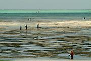 Women seaweed farmers picking on the east coast of Zanzibar at Jambiani beach.