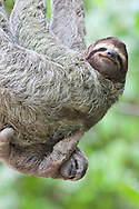A Brown-throated Sloth (Bradypus variegatus) and her baby - Corcovado National Park, Costa Rica