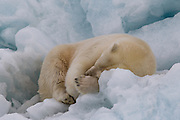 A polar bear rests on an iceberg that has broken off the Austfonna glaier in Svalbard.