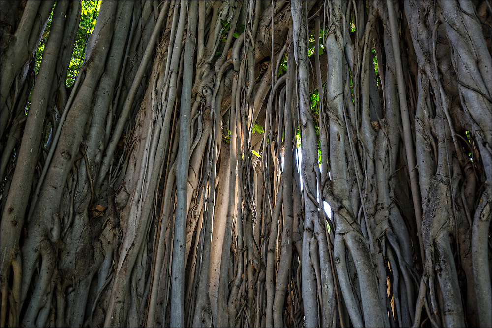 Early morning sun on banyan trees by Iolani Palace, Honolulu, HI ©PF Bentley