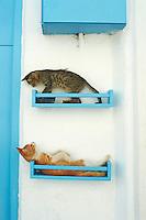 Grece, Cyclades, Mykonos, chat des rues. // Greece, Cyclades, Mykonos, street cat