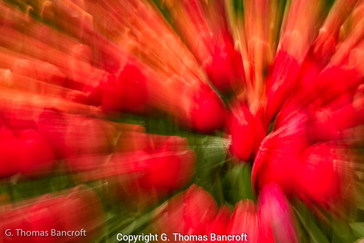 The intense color flashed out from the bed of tulips