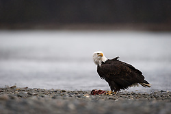 A bald eagle (Haliaeetus leucocephalus) checks for other bald eagles as it eats on a salmon fish carcass in the Alaska Chilkat Bald Eagle Preserve along the Chilkat River near Haines, Alaska. It was snowing slightly at the time the photo was taken. During late fall, bald eagles congregate along the Chilkat River to feed on salmon. This gathering of bald eagles in the Alaska Chilkat Bald Eagle Preserve is believed to be one of the largest gatherings of bald eagles in the world.