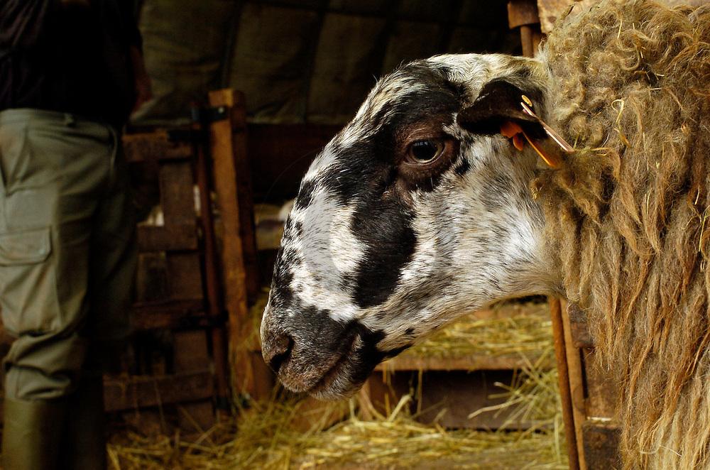 18/12/04 - SAINT JACQUES D AMBUR - PUY DE DOME - FRANCE - Filiere ovine, race RAVA au GAEC Perrier - Photo Jerome CHABANNE