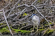 Black-crowned Night-heron - Nycticorax nycticorax sitting on a mossy log