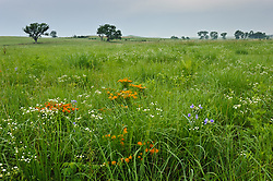 Native wildflowers are mixed in with prairie grasses in this scene taken in the lowland prairie along Fox Creek in the tallgrass Prairie National Preserve. Pictured are butterfly milkweed (orange flowers), common spiderwort (purple flowers), and Philadelphia fleabane (white flowers). The National Park Service is restoring the lowland prairie from agricultural use to its natural state. Bottomland (floodplain) prairies are rare because most have been plowed for farming. Bottomland areas provide deep soil, allowing prairie grasses and other plants to grow much taller than on the upland prairie. Tallgrass Prairie National Preserve is the only unit of the National Park Service dedicated to the preservation of the tallgrass prairie ecosystem. The Tallgrass Prairie National Preserve is co-managed with The Nature Conservancy.
