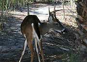Jekyll Island whitetail buck on sand path