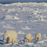 Polar bear mother and cubs on Hudson Bay, Canada.