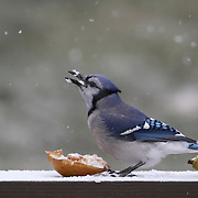 Blue Jay, Cyanocitta cristata, eating a pear in the snow. New Jersey, USA