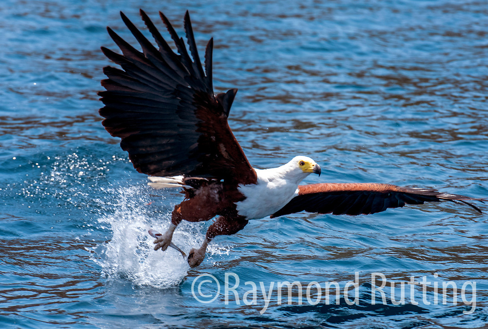 Malawi - lake Malawi - The African fish eagle at Lake malawi. This species is still quite common near freshwater lakes, reservoirs, and rivers, although they can sometimes be found near the coast at the mouths of rivers or lagoons. African fish eagles are indigenous to sub-Saharan Africa, ranging over most of continental Africa south of the Sahara Desert. Several examples of places where they may be resident include the Orange River in South Africa and Namibia, the Okavango Delta in Botswana, and Lake Malawi bordering Malawi, Tanzania, and Mozambique. The African fish eagle is thought to occur in substantial numbers around the locations of Lake Victoria and other large lakes in central Africa, particularly the Rift Valley lakes. photo © raymond rutting