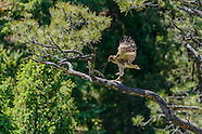 Red-tailed Hawk Family Series - 2016