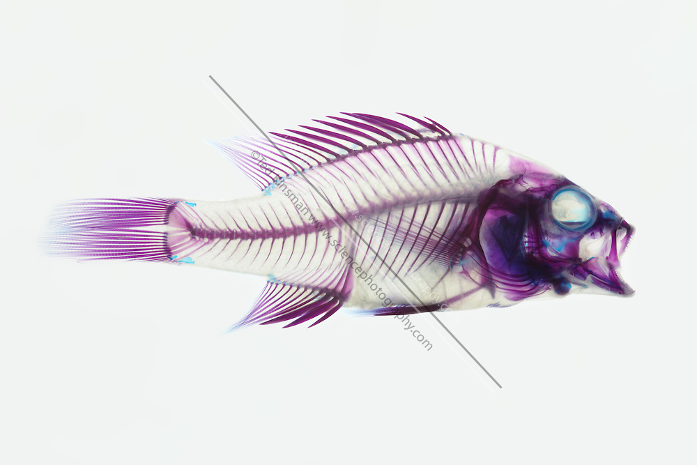 Stained fish specimen of a rockbass
