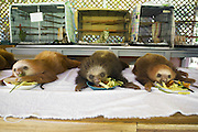 Hoffmann's Two-toed Sloth <br /> Choloepus hoffmanni<br /> Orphaned babies eating vegetables<br /> Aviarios Sloth Sanctuary, Costa Rica<br /> *Rescued and in rehabilitation program