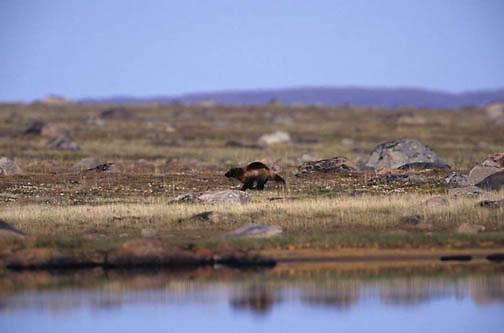 Wolverine, (Gulo gulo) Non captive, wild subject, Northwest Territories, known as Nunuvat, Canada.