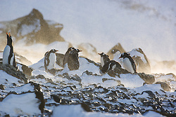 Gentoo Penguin (Pygoscelis papua) in snow blizzard at Brown Bluff, Antarctica