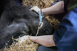 © London News Pictures. 23/06/2013. Hythe, Kent, UK. (EMBARGO UNTIL 24/06/13). The sedated female lowland gorilla Mwambe is carefuly monitored as she is placed in her transportation crate. A critically endangered western lowland gorilla family from Port Lympne Wild Animal Park are bound for Gabon in Africa as part of The Aspinal Foundation's Back to the Wild campaign. Djala, a 30 year old silverback, four mothers and four offspring embark on a unique 6,000 mile journey back to the wild courtesy of its partners DHL. Picture credit Manu Palomeque/LNP