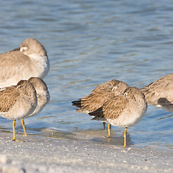 Short-billed dowitchers and a willets rest on North Beach at Fort De Soto Park in Pinellas County, Florida. Winter plumage.