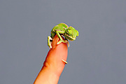 They are bright green, adorable and so tiny that they fit on the end of a finger or pencil: More than 20 baby chameleons make a big impression after hatching at Taronga Zoo<br /> <br /> They are bright green, so teen tiny that they sit comfortably on a pencil or fingertip - and too adorable that is it hard to believe they are actually real.<br /> New veiled chameleon hatchlings have just popped out into the world at Sydney's Taronga Zoo and their almost cartoon-like looks are already winning the world over. <br /> Two of the final three clutches of the eggs have already hatched this week with the third in the process of producing the last of the seriously cute critters.<br /> More than 20 baby chameleons, which are currently only 5cm long but will grow to about 30cm, are the first born at the zoo in over five years.<br /> <br /> Housed in a special temperature-controlled area behind the scenes at Taronga's Reptile World, the hatchlings have begun feeding on crickets and turning on a bright green colour display for keepers.<br /> Reptile supervisor, Michael McFadden said the chameleons, which are native to Yemen and Saudi Arabia, would be mature and able to showcase their full colour palette within a year.<br /> 'Veiled chameleons are a visually amazing species that we're fortunate to have at Taronga,' McFadden said. <br /> 'While they're not endangered, they do play an important educational role in helping us to get people excited about reptiles and reptile conservation.'<br /> <br /> Normally a shade of green or brown while at rest, the chameleons can change colour when frightened, courting or defending their territory.<br /> 'You'll see shades of green, yellow, aqua and even very dark brown or black depending on their temperature, mood and reproductive behaviour,' McFadden said. <br /> 'However, they don't change colour to match a particular background like you see in cartoons.'<br /> Built for a life in the trees, the veiled chameleons also have zygodactyl feet that can easily grasp branches, their eyes can rotate independently and look in two directi