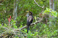 Also known as the snakebird, the anhinga is a common fish-eating bird found along the coasts and interior of Florida. This one was in wait in a wild cocoplum while hunting near the Sweetwater Strand near Naples, Florida.