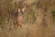 Chinese Water Deer (Hydropotes inermis) introduced species, adult, standing alert, The Broads N.P., Norfolk, England