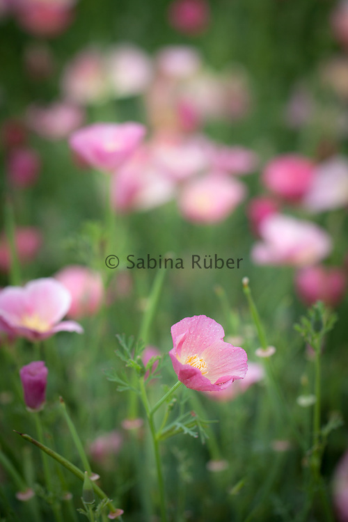 Eschscholzia californica 'Pink Bush' - California poppy