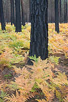 Fire charred trees and Bracken ferns in autumn, Deschutes National Forest Oregon