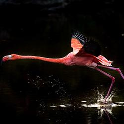 A flamingo takes off on the water, Isla Isabela, Galapagos, Ecuador.