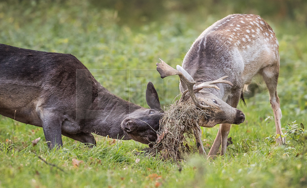 © Licensed to London News Pictures. 17/10/2017. London, UK. Two young stags lock antlers at first light in Bushy Park.  Storm Ophelia is expected to hit parts of Scotland later today. Photo credit: Peter Macdiarmid/LNP