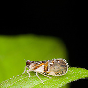 Planthopper (Fulgoromorpha). A planthopper is any insect in the infraorder Fulgoromorpha within the Hemiptera.