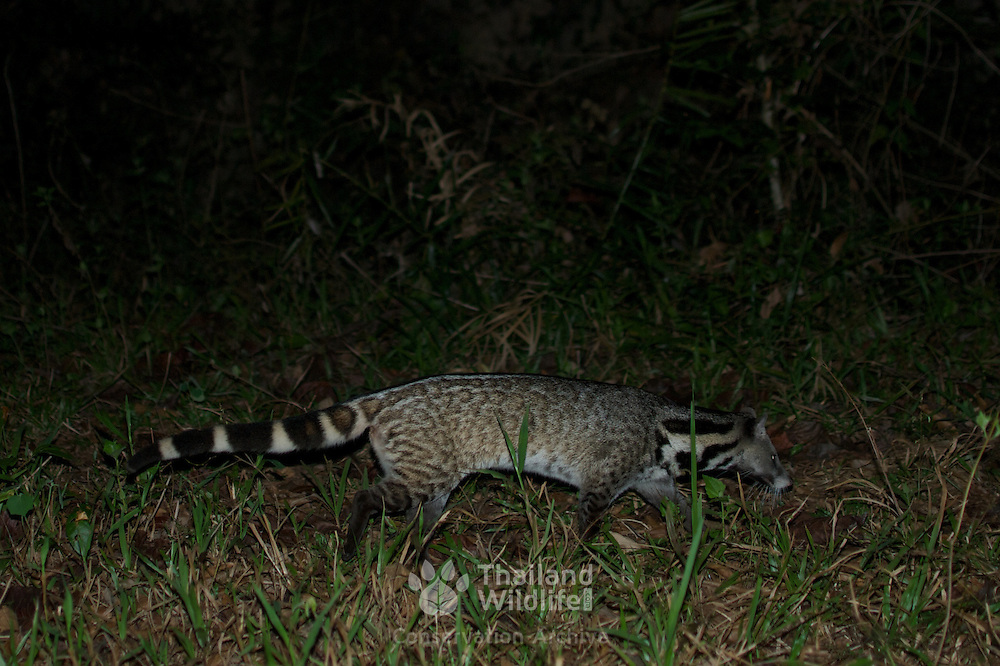 Large Indian civet (Viverra zibetha). female. Pang Sida National Park, Thailand.
