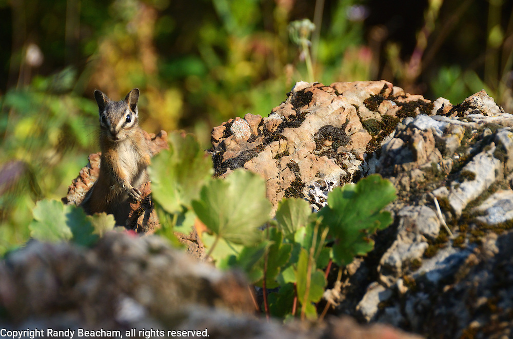 Chipmunk. Yaak Valley, Montana.