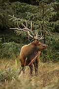 Bull Roosevelt Elk in Rut, Profile with grass on antlers