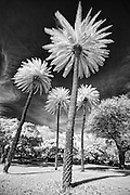 Four black and white HDR infrared palm trees in Hawaii.