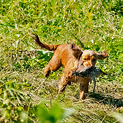 The 2017 Cocker Spaniel Hunting Enthusiasts of SE WI Hunt Test took place at Mazomanie Dog Training Grounds, Mazomanie, WI. Photography was made July 29-30. The cover was high and very dense, which made making photos very difficult.