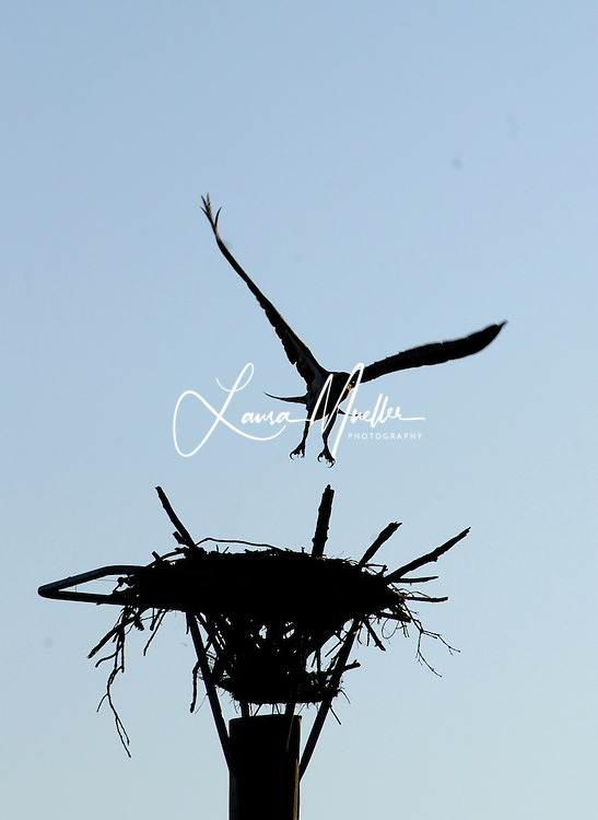 An Osprey takes flight from it's nest near Goat Island on Lake Norman. <br />