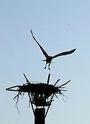 An Osprey takes flight from it's nest near Goat Island on Lake Norman. <br /> L.MUELLER - lmueller@charlotteobserver.com