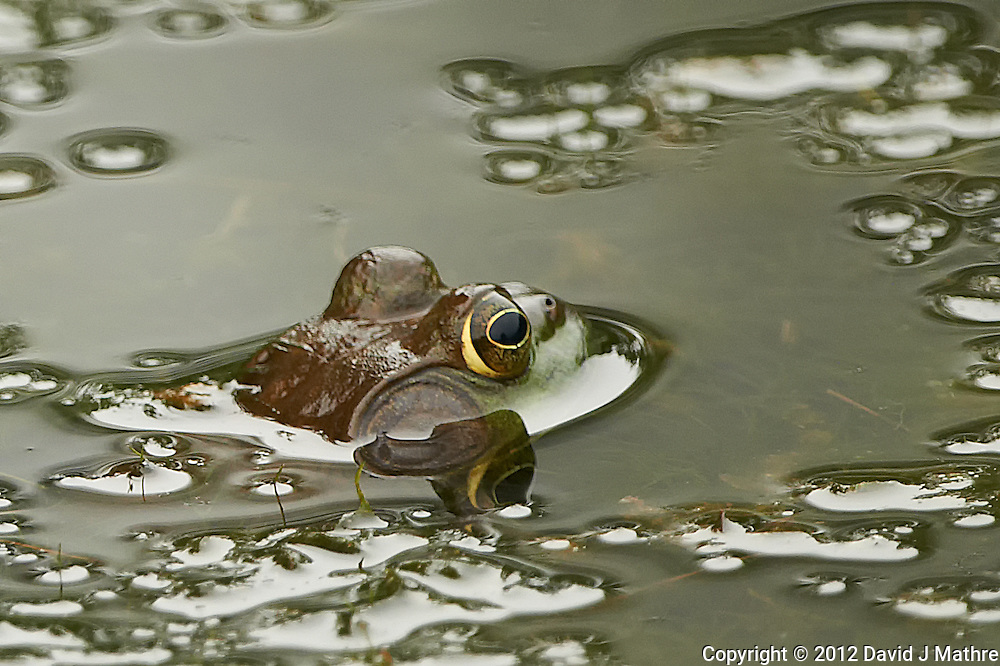 Bullfrog in a Pond at the Sourland Mountain Preserve in New Jersey. Image taken with a Nikon D800 and 500 mm f/4 VRII lens (ISO 800, 500 mm, f/4, 1/800 sec). Crop of image taken with the Right focus sensor.