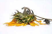 sunflower head dying