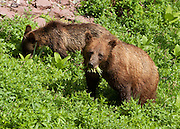 A grizzly bear sow and cub (Ursus arctos horribilis, a subspecies of brown bear) forage in a field of Bear grass and other alpine plants. Grinnell Glacier Trail, Glacier National Park, Montana, USA. The species Ursus arctos is found across northern Eurasia (including Russia and Scandinavia) and North America and is an omnivorous mammal of the order Carnivora.